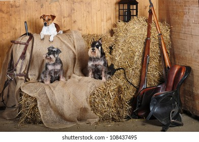 Jack Russell Terrier and Mini Schnauzer dogs in wooden stables, on the straw.