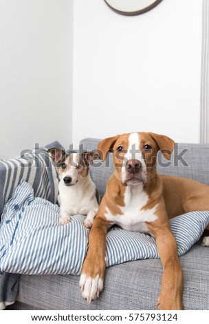 Jack Russell Terrier Mix Senior Dog Stock Photo Edit Now 575793124