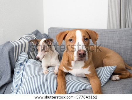 Jack Russell Terrier Mix Senior Dog Stock Photo Edit Now 577843162