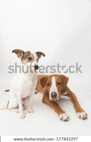 Jack Russell Terrier Mix Senior Dog Stock Photo Edit Now 577843297