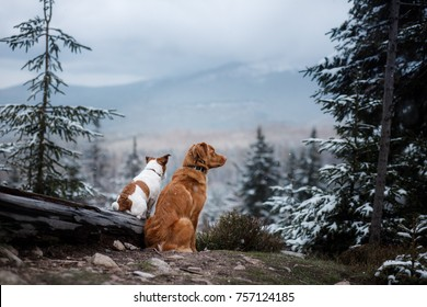 Jack Russell Terrier and Nova Scotia duck tolling Retriever sitting and looking at the mountains. two dogs together, friendship