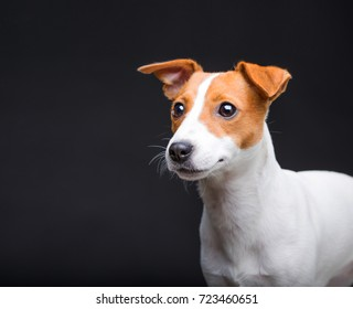 jack russell terrier on a black background