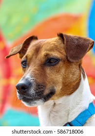 jack russell terrier on bright background