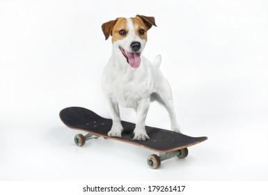 Jack Russell Terrier on a skateboard