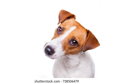 Jack Russell Terrier on a white background, fun dog