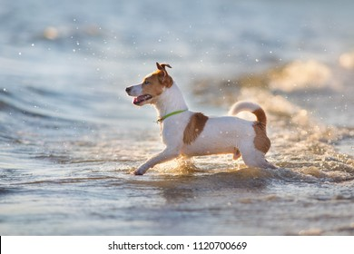 Jack russell terrier play in water at sunset