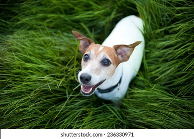 Jack Russell Terrier playing outside smiles