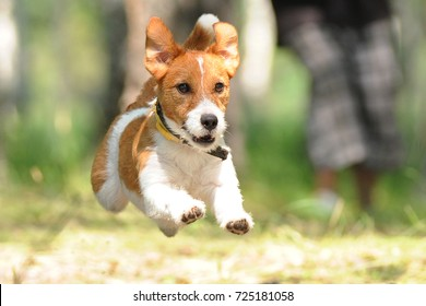 Jack Russell Terrier playing with toy