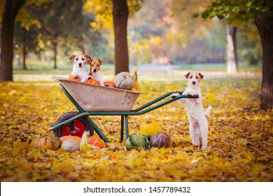 jack russell terrier with pumpkins