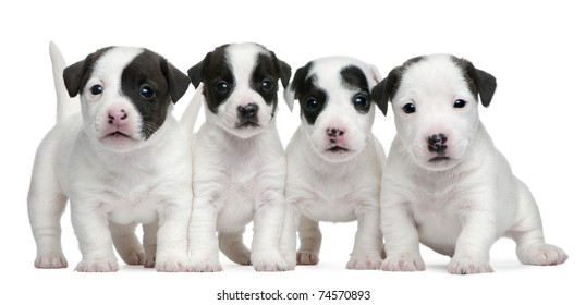 Jack Russell Terrier puppies, 5 weeks old, in front of white background