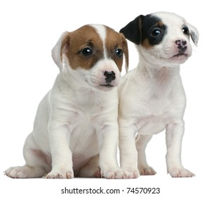 Jack Russell Terrier puppies, 7 weeks old, sitting in front of white background