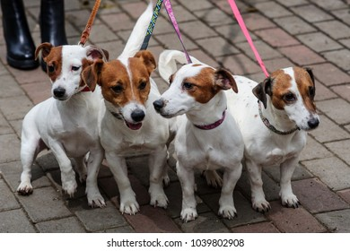 Jack Russell Terrier puppies in the yard.