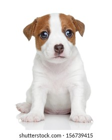 Jack Russell terrier puppy (1.5 month) on a white background