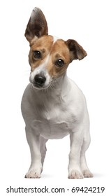 Jack Russell Terrier puppy, 2 months old, standing in front of white background
