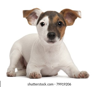 Jack Russell Terrier puppy, 5 months old, lying in front of white background