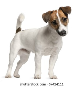 Jack Russell Terrier puppy, 7 months old, standing in front of white background