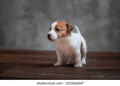 Jack Russell Terrier puppy with brown spots stands on the wooden floor against the background of a gray wall.