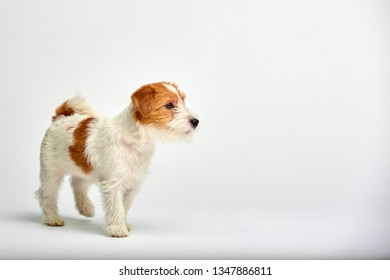 Jack Russell Terrier puppy close up on white background, copy space. Studio shot