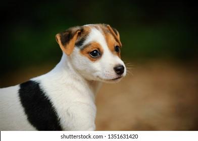 Jack Russell Terrier puppy dog portrait