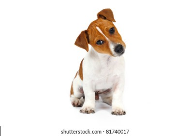 Jack Russell Terrier puppy in front of white background