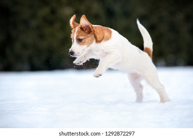 jack russell terrier puppy jumping in the snow