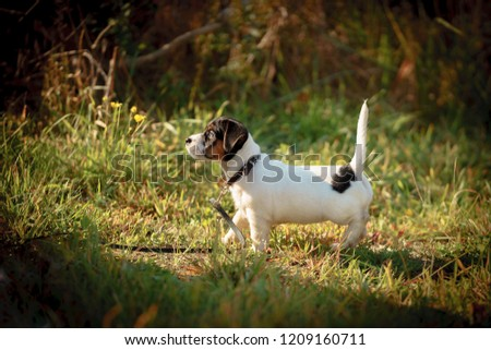 Jack Russell Terrier Puppy Playing Outside Stock Photo (Edit