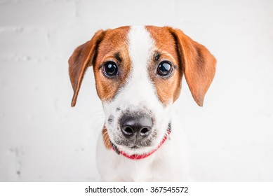 Jack Russell Terrier puppy posing