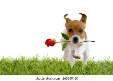 Jack Russell Terrier puppy with red rose isolated on white background