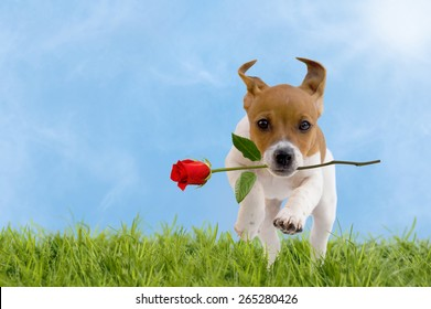 Jack Russell Terrier puppy with red rose jumps over a meadow with blue sky