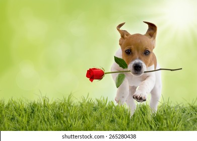 Jack Russell Terrier puppy with red rose jumps on meadow