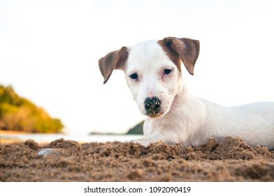 A jack russell terrier puppy with sand on his nose plays at the beach
