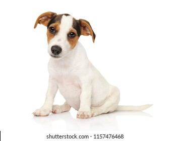 Jack Russell terrier puppy sits on white background
