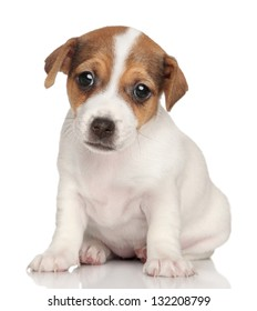 Jack Russell terrier puppy sits on a white background