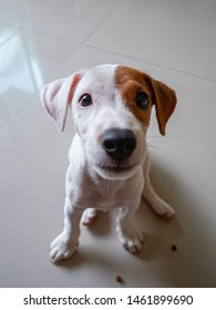 Jack russell terrier puppy sitting and looking camera at house.