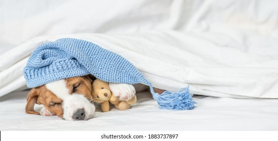 Jack russell terrier puppy wearin warm hat sleep under white blanket and hugs favorite toy bear on a bed at home. Empty space for text