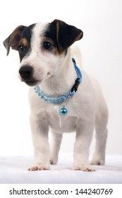 Jack russell terrier puppy wearing blue collar dog on white background.