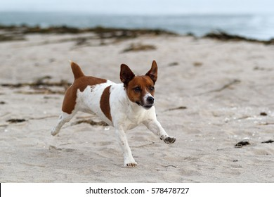 Jack Russell terrier raging on the beach of the Baltic Sea!