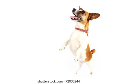 Jack Russell Terrier reaching up