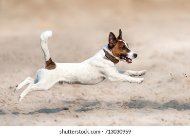 Jack russell terrier run and jump on sand