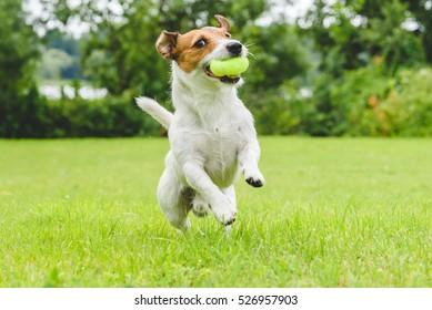 Jack Russell Terrier running and jumping on camera