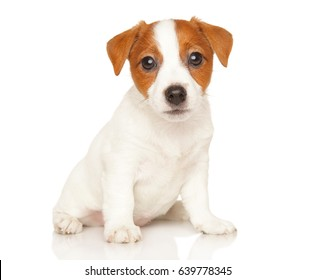 Jack Russell terrier sits in front of white background.