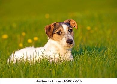Jack Russell Terrier sitting in meadow