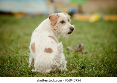 Jack Russell Terrier sitting on the grass looking back