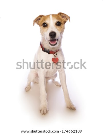 Jack russell terrier sitting smiling at camera  isolated on white background