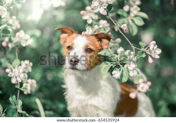 Jack Russell Terrier sitting in a tree on a background of white flowers in the garden.