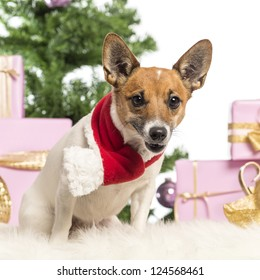 Jack Russell Terrier sitting and wearing a Christmas scarf in front of Christmas decorations against white background
