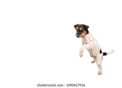 fb731ae49fd018 Jack Russell Terrier, small dog is dancing and standing on his hind legs,  isolated