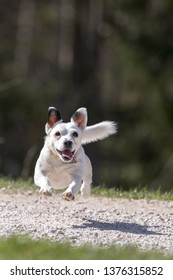 Jack Russell Terrier,  small terrier runnig, small dog on a green field