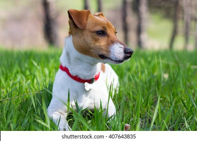 Jack Russell terrier and spring.