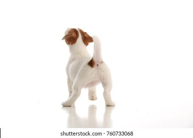 Jack russell terrier standing back. White background
